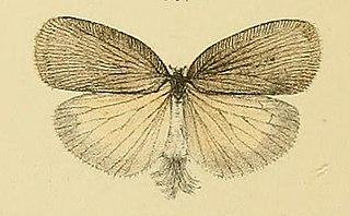 <i>Adelidoria glauca</i> Insect