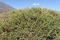Adenocarpus viscosus kz13.jpg