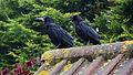 Adult & juvenile Rooks (4482337252).jpg