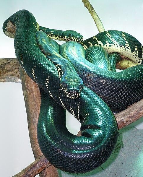 Pair of Boelen's Pythons