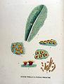 Aecidium primulae — Flora Batava — Volume v18.jpg