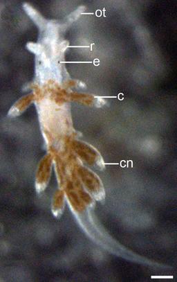 Aeolidiella stephanieae 10