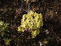 Aeonium goochiae (Barlovento) 04.jpg