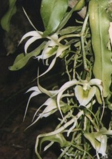 Aeranthes henricii.jpg