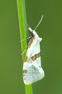 Tortricinae Subfamily of tortrix moths