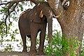 African Elephant (Loxodonta africana) bull resting under a big tree ... (32620382004).jpg