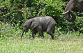 African Elephants (Loxodonta africana) calf with mother (17331261375).jpg