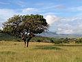 African Sausage Tree (13983526326).jpg