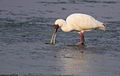 African Spoonbill, Platalea alba at Borakalalo National Park, South Africa (9856949413).jpg