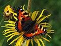 Aglais urticae - Small tortoiseshell - Крапивница (27278052948).jpg