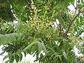 AilanthusAltissimaFlower2.jpg