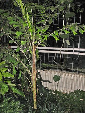 Aiphanes horrida - Aiphanes horrida in the Jena Botanical Garden