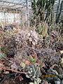 Airy fairy Echeveria flowers (4578481502).jpg