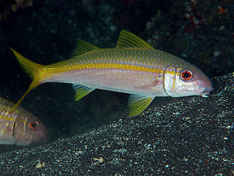 Yellow goatfish - Image: Aka HJ