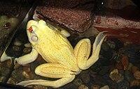 Albino bullfrog.jpg