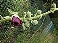Alcea rosea 141755645.jpg