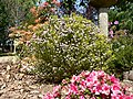 Alecrín ( Coleonema pulchrum) - panoramio.jpg