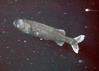 Argentiniformes Order of fishes