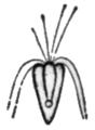 Alger, Pyramimonas tetrarhynchus, Nordisk familjebok.png
