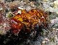 Algue corallinale à déterminer.jpg