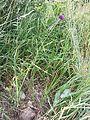 Allium rotundum sl5.jpg