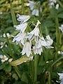 Allium triquetrum RHu closeup 02.JPG