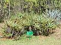 Aloe arborescens - Jardim Botânico de Brasília - DSC09668.JPG