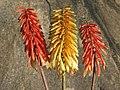 Aloe cameronii 5.jpg