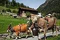 Alpabzug (Almabtrieb) in Wassen, Switzerland.jpg