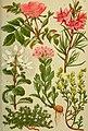 Alpen-Flora für Touristen und Pflanzenfreunde (1902) (17921693060).jpg