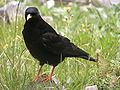 Alpine Chough.jpg