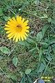 Alpine flora (Gru) (37163811073).jpg