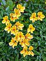 Alstroemeria, Peruvian Lily at Boreham, Essex, England.jpg