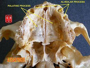 Alveolar process - Image: Alveolar process