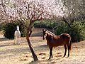 Amandiers en fleurs et chevaux (2240865163).jpg