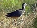 Amaurornis phoenicurus.jpg