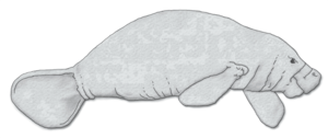 Evolution of sirenians - Amazonian manatee
