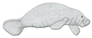 Evolution of sirenians - Amazonian manatee