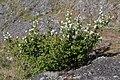 Amelanchier alnifolia 6301.JPG