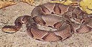 Difficult Run - American-Copperhead snake: The only venomous snake which inhabits Difficult Run Trail