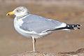 American Herring Gull (Larus argentatus smithsonianus) (16107641460).jpg