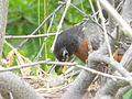 American Robin Nest8.jpg