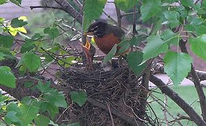 An American Robin feeding its . Taken in Munst...