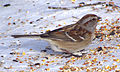 American Tree Sparrow, Shirleys Bay.jpg