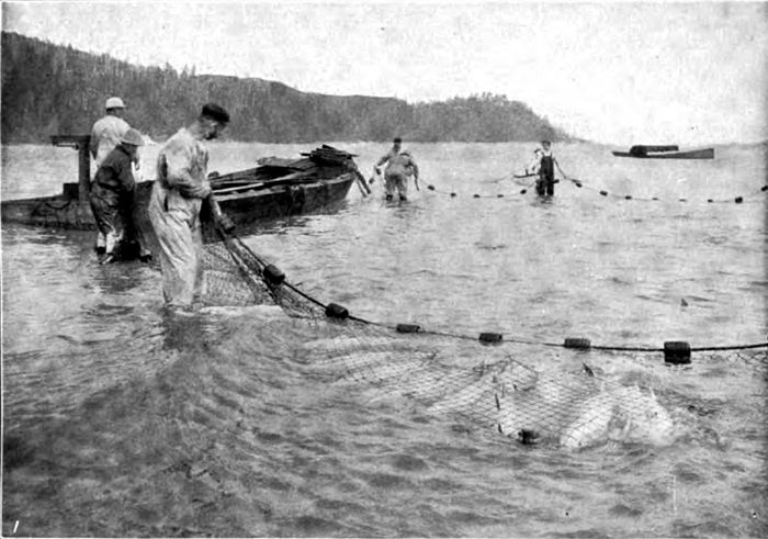 Americana 1920 Fisheries - Seining for Salmon.jpg