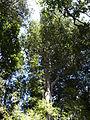 Amomyrtus meli by Scott Zona.jpg