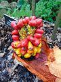 Amorphophallus konjac, mature fruit.jpg