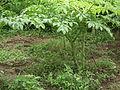 Amorphophallus paeoniifolius Plant frm Kerala 5034.JPG