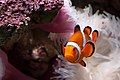 Amphiprion ocellaris -Warsaw Zoo, Poland-8a.jpg