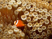 Amphiprion sp. (Anemonefish) in Entacmaea quadricolor (Bulb sea anemone).jpg